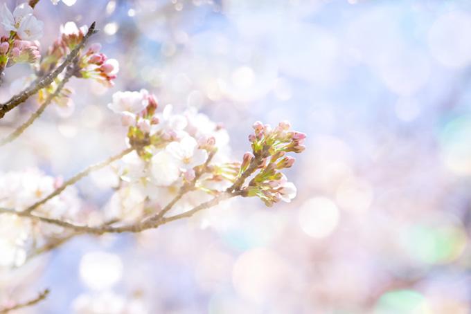 さくらの蕾と春の光(桜 蕾の画像)