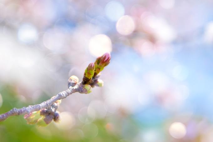 桜の蕾が膨らむ枝先(桜 蕾の画像)