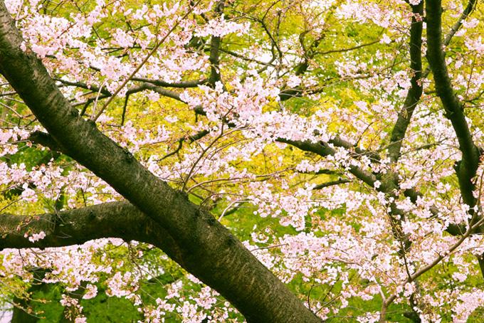 桜と春の新緑の和風背景(桜 和風の画像)