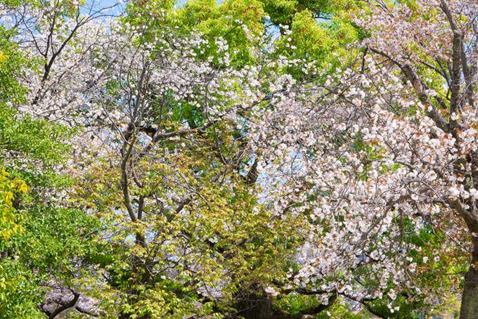 桜林と夜桜(桜 おしゃれの背景フリー画像)