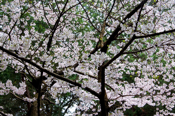 白い桜と濃い緑の背景(桜 和風の画像)
