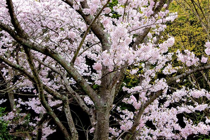美しい満開の桜と黒背景(桜 和風の画像)