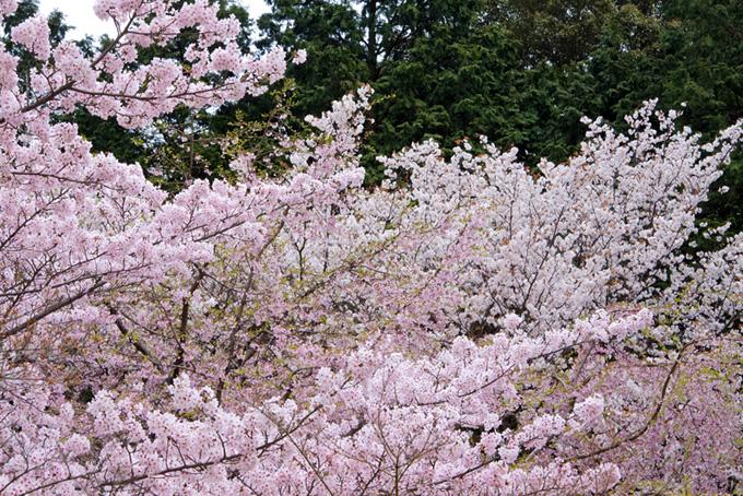 桜林と春の木立(桜 和風の画像)