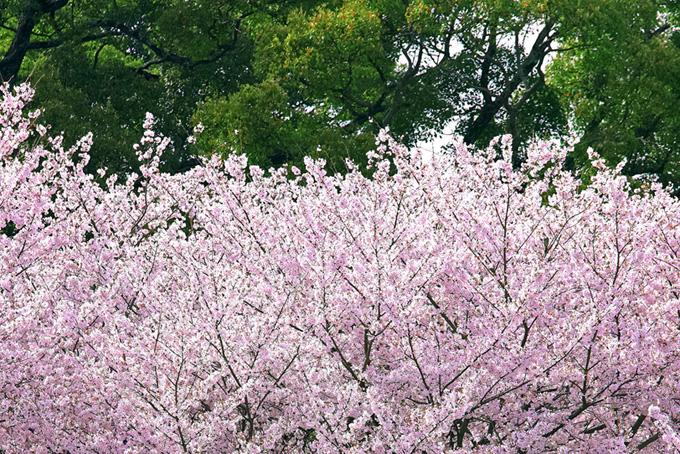 花咲く桜と緑の背景(桜 和風の画像)