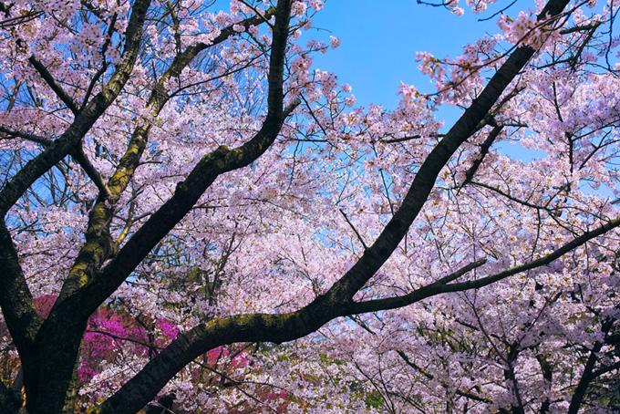 日本の色鮮やかな桜景色(桜 和風の画像)