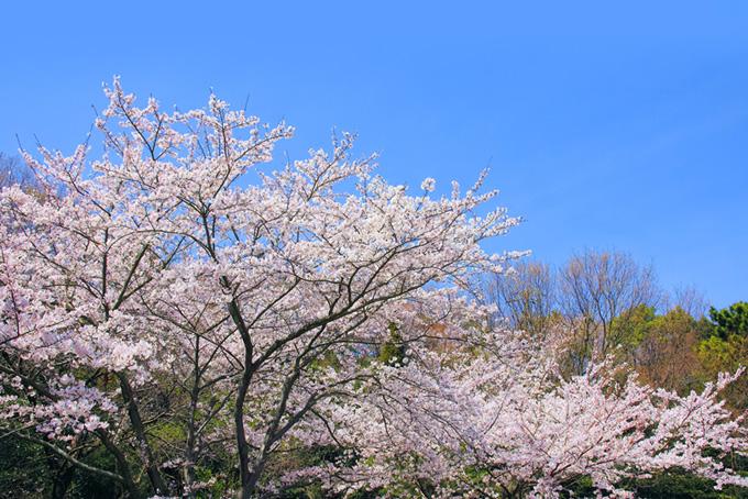 春の緑と桜(桜 おしゃれの背景フリー画像)