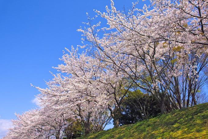 春の緑と桜(桜 春空の背景フリー画像)
