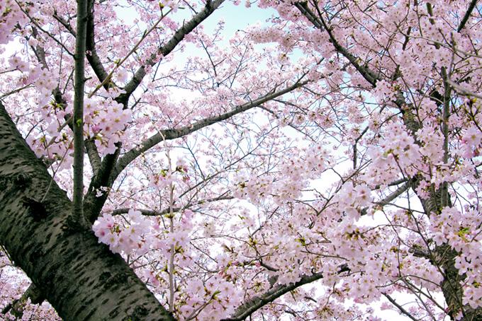 和風の綺麗な桜背景(桜 和風の画像)