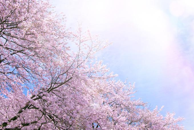 花咲く桜と光溢れる空(桜 綺麗の画像)