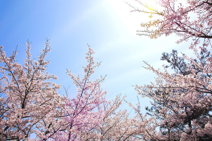 輝く太陽に伸びる桜の枝(桜 綺麗の画像)