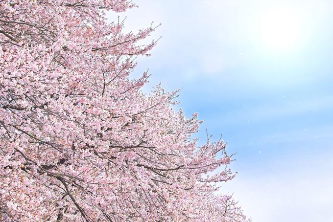 満開の桜と霞空の太陽(桜 綺麗の画像)