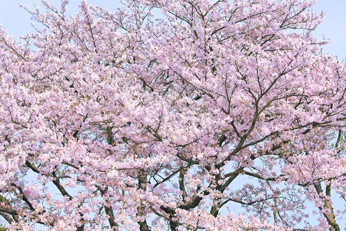 霞む空に咲く満開の桜(桜 綺麗の画像)