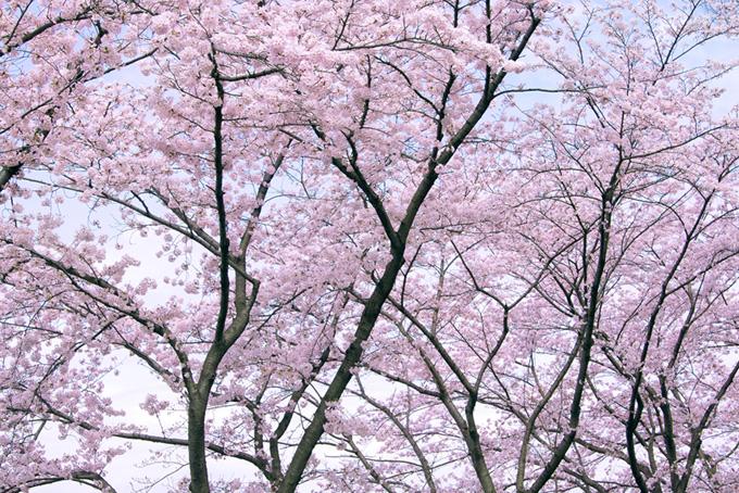 清らかで美しい桜の木々(桜 綺麗の画像)