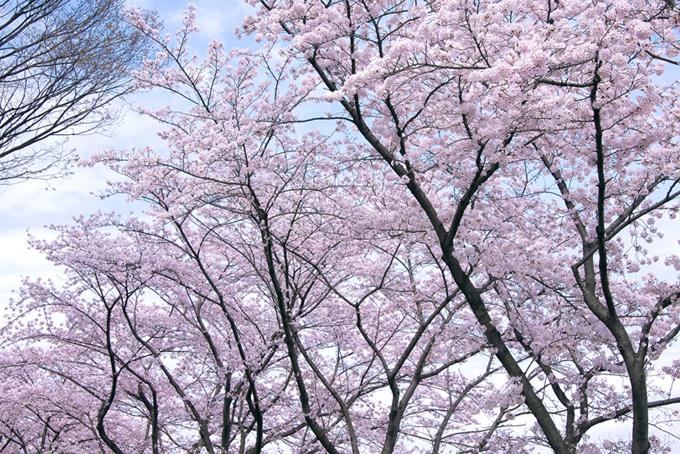 朝の清々しい桜並木(桜 綺麗の画像)