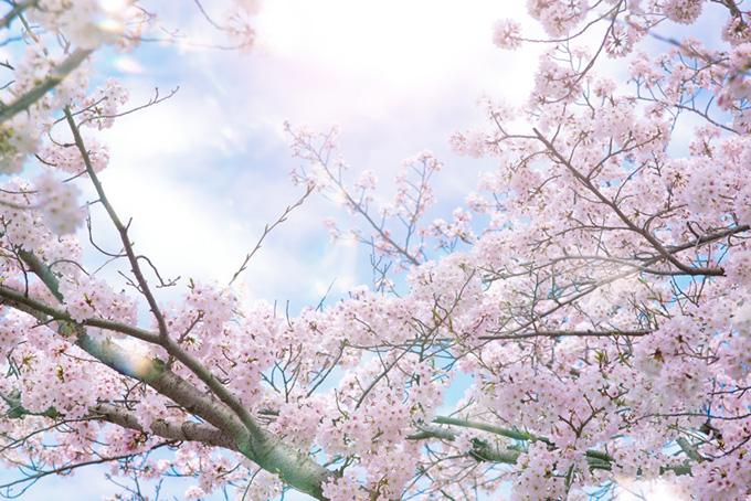 春の陽射しと綺麗な桜の背景(桜 綺麗の画像)