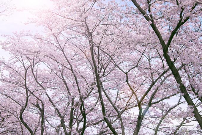 朝日と染井吉野の桜並木(桜 太陽の画像)