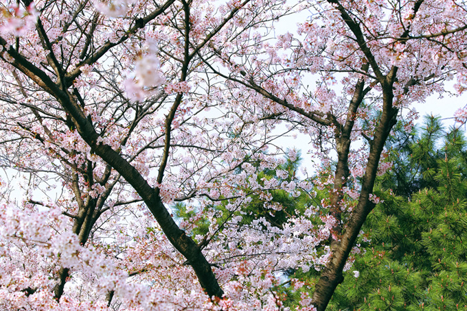 染咲き始める桜と松の背景(桜 和風の画像)