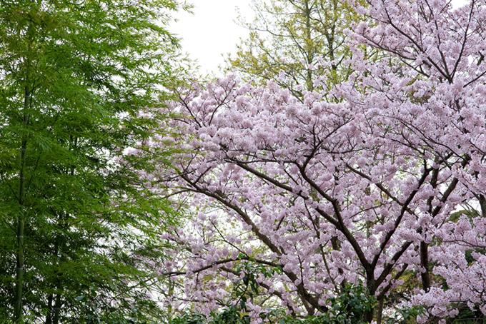 桜と竹林の趣ある和風景(桜 和風の画像)