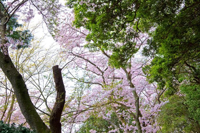 新緑の木々と桜の林(桜 和風の画像)