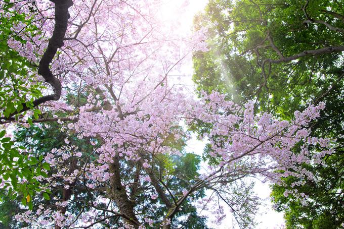 光り輝く桜と新緑の葉(桜 和風の画像)