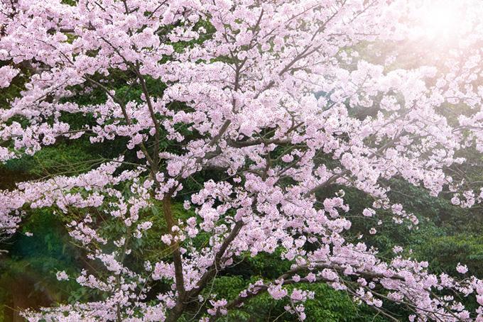 春の陽を浴びる綺麗な桜(桜 和風の画像)