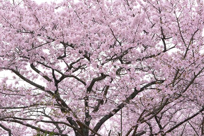 染井吉野の桜の木(桜 ピンク)