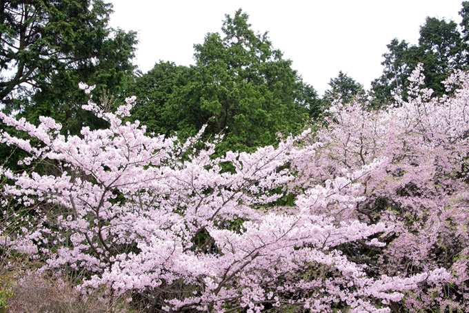 緑の林の中に咲く桜(桜 和風の画像)
