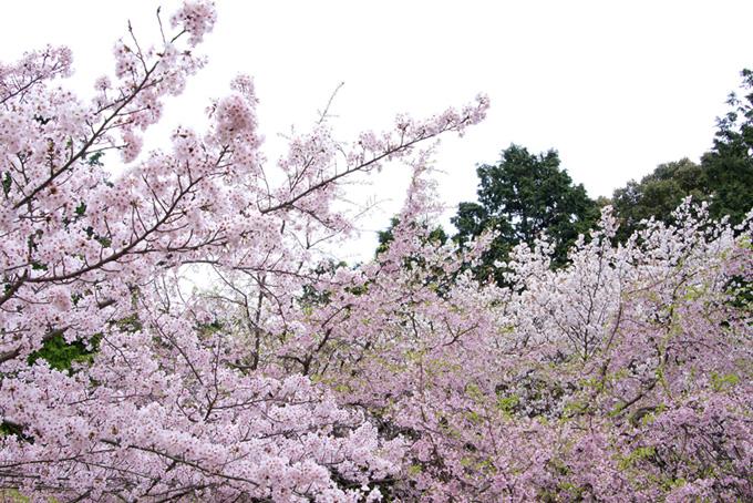 桜の林と白い空(桜 和風の画像)