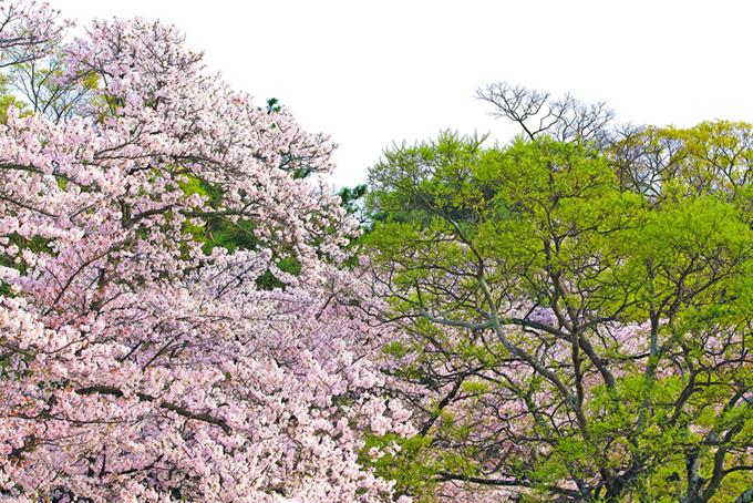 花桜と緑鮮やかな木(桜 和風の画像)