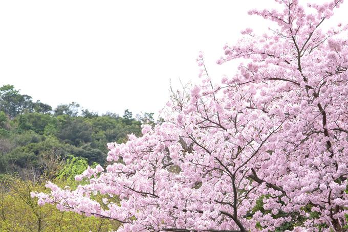 満開の桜と若緑の木々(桜 和風の画像)