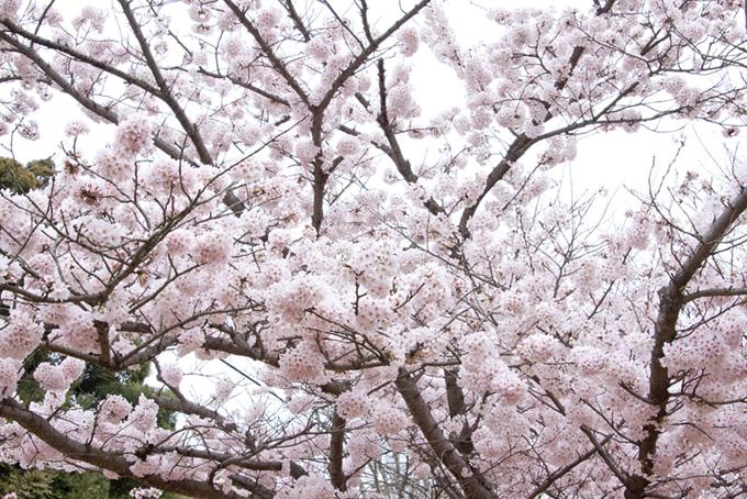 白い背景のさくら景色(桜 白背景の画像)