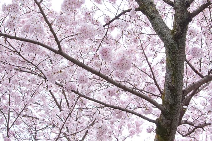 薄紅色の花を沢山つけた桜の木(桜 白背景の画像)