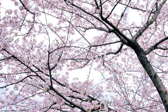 さくら色の和風背景(桜 白背景の画像)