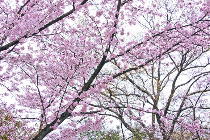 霞空と桜の写真(桜 ピンク)