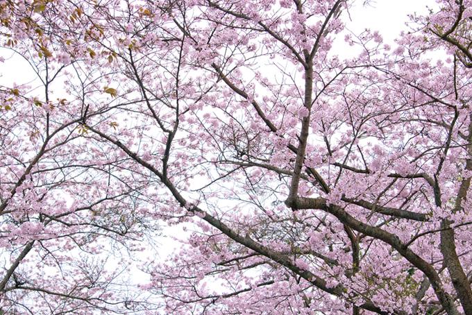 ピンクと白の風情ある桜背景(桜 和風の画像)