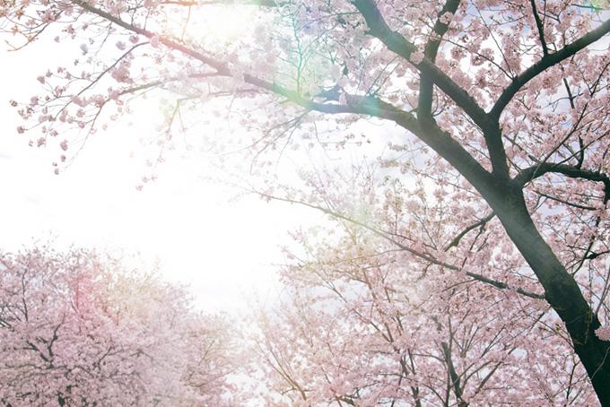 霞空から漏れる光と桜(桜 太陽の画像)