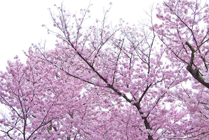 空とサクラ(桜 ピンク)