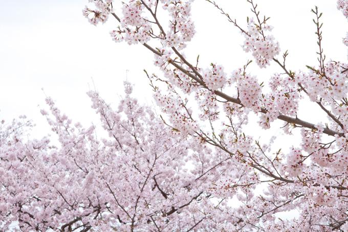 花とつぼみのある桜の枝(桜 和風の画像)