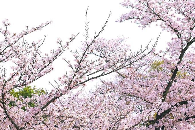落ち着いた華やかさの和風背景(桜 和風の画像)