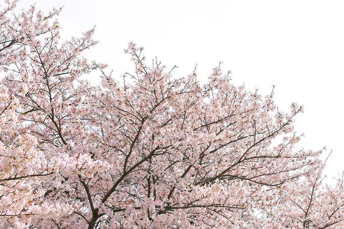 桜の木と白い空の背景(桜 白背景の画像)