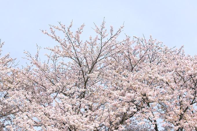 染井吉野と春の霞空(桜 和風の画像)