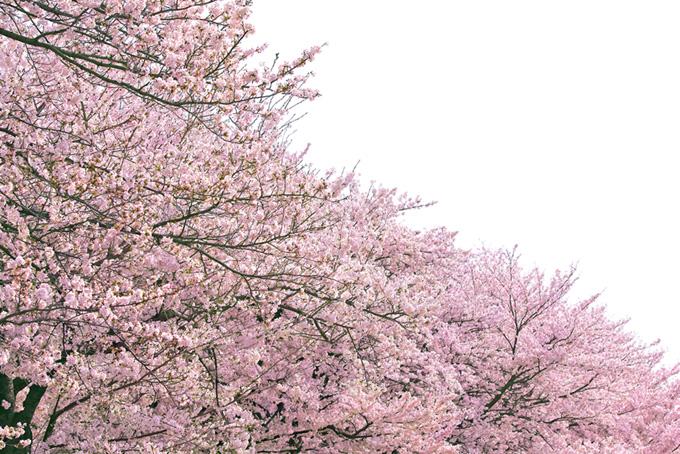 ピンクの桜並木が続く風景(桜 和風の画像)