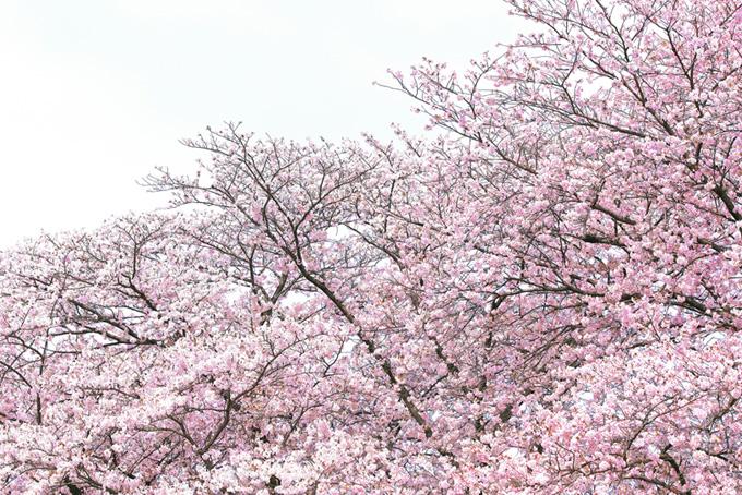ピンクの桜と春の霞空(桜 白背景の画像)