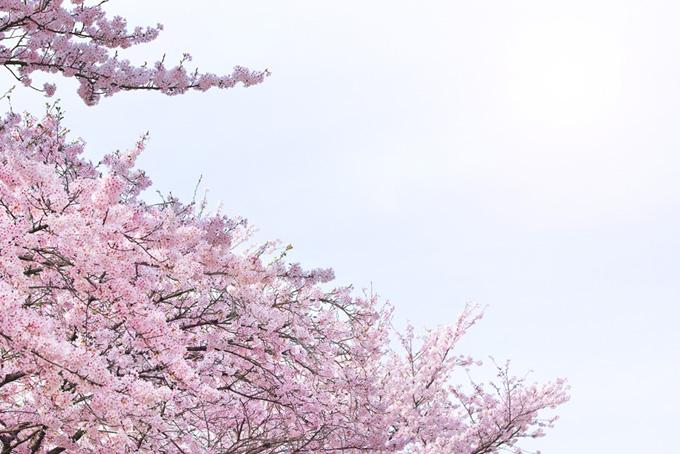 春霞の柔らかな光に包まれる桜(桜 和風の画像)