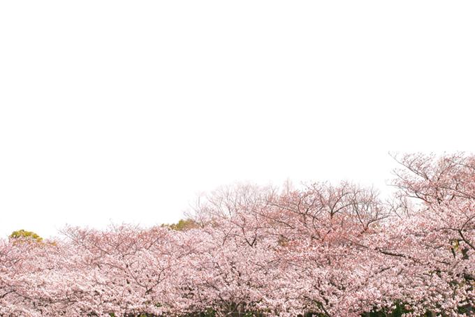 桜並木と真っ白な空(桜 白背景の画像)