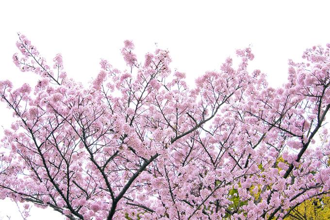 鮮やかなピンクの桜と白い背景(桜 和風の画像)