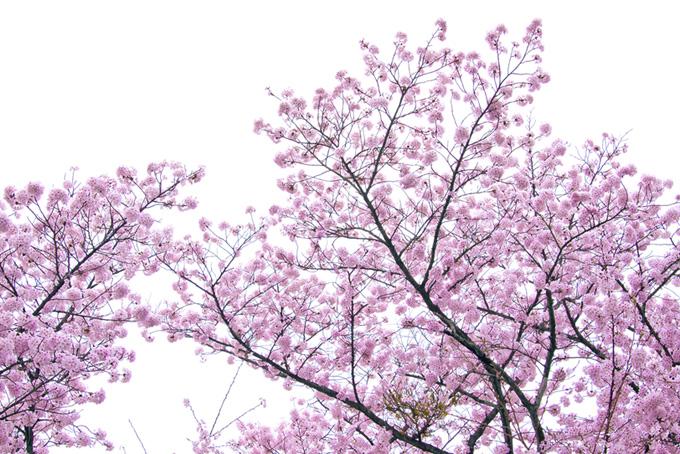 かわいいピンクの桜の花と白背景(桜 和風の画像)