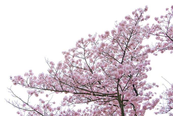 ピンクのサクラと白背景(桜 白背景の画像)