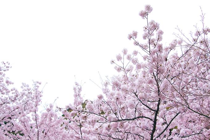 ピンクの花が咲く桜と白背景(桜 白背景の画像)