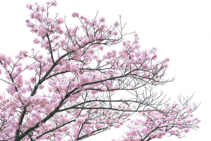 白い背景に鮮やかなピンクの花(桜 白背景の画像)